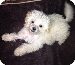 Maltese Mix Puppy for Sale in San Diego, California - Jumbo Jack