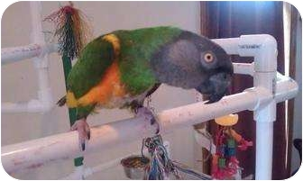 Parrot - Other for adoption in Mantua, Ohio - ED