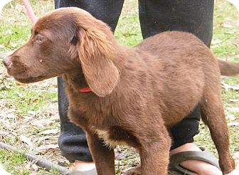 Setter (Unknown Type) Mix Puppy for Sale in anywhere, New Hampshire - Heather adoption fee reduced
