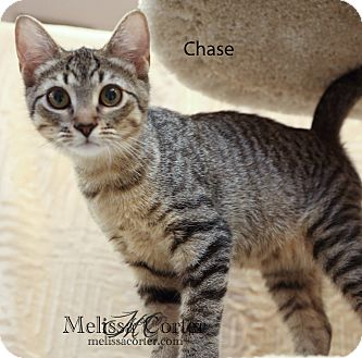 Domestic Shorthair Kitten for Sale in Phoenix, Arizona - Chase