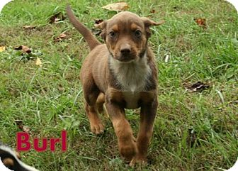 Retriever (Unknown Type) Mix Puppy for Sale in Danbury, Connecticut - Burl ADOPTION PENDING