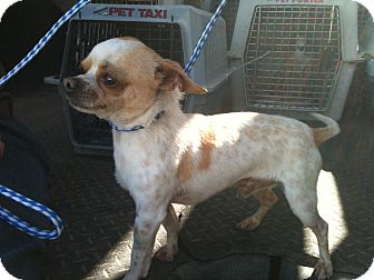 Chihuahua Dog for Sale in Phoenix, Arizona - Squirt