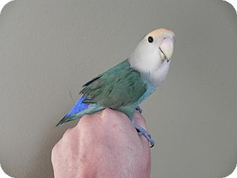 Lovebird for Sale in St. Louis, Missouri - Jasper