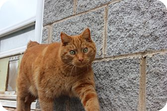 Manx Cat for adoption in Maxwelton, West Virginia - Oscar
