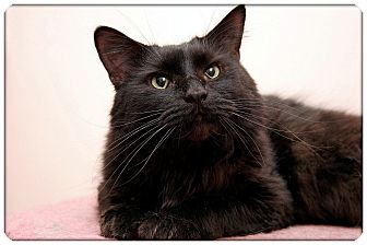 Domestic Mediumhair Cat for adoption in Sterling Heights, Michigan - Merlin