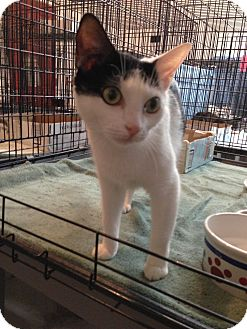 Domestic Shorthair Cat for adoption in Westfield, Massachusetts - Pixie