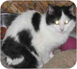 Domestic Mediumhair Cat for adoption in Strathmore, Alberta - Lovely