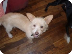 Norfolk Terrier Mix Dog for adption in Atascadero, California - Tink
