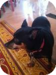 Miniature Pinscher Mix Dog for Sale in Marlton, New Jersey - Coco