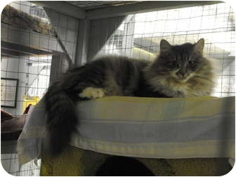 Domestic Mediumhair Cat for Sale in Mission, British Columbia - Ivy