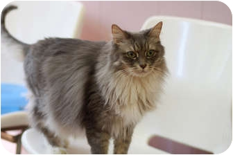 Domestic Longhair Cat for Sale in Chicago, Illinois - Ernestina