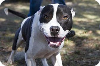 American Pit Bull Terrier Mix Dog for Sale in Gainesville, Florida - Baxter