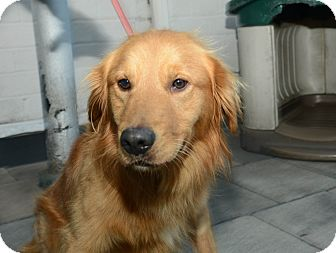 Golden Retriever Dog for Sale in New York, New York - Roy