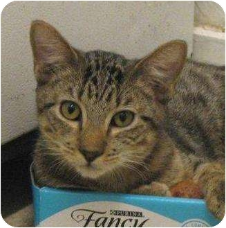 Domestic Shorthair Kitten for adoption in Metairie, Louisiana - Tex