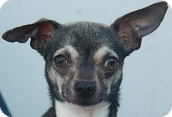 Chihuahua/Italian Greyhound Mix Dog for Sale in Tucker, Georgia - Fenway