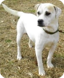 Terrier (Unknown Type, Small)/Labrador Retriever Mix Dog for Sale in Lincolnton, North Carolina - Baby Girl