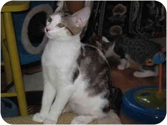 Domestic Shorthair Cat for adoption in Port Republic, Maryland - Smitty