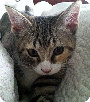 Domestic Shorthair Cat for Sale in Apex, North Carolina - Kaylee
