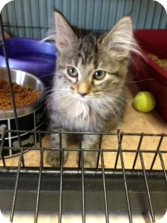 Domestic Mediumhair Kitten for Sale in Chippewa Falls, Wisconsin - Pam