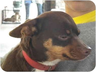 Chihuahua/Terrier (Unknown Type, Small) Mix Dog for adption in Fresno, California - Kaluha
