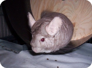 Chinchilla for adoption in La Porte, Texas - Roo Roo