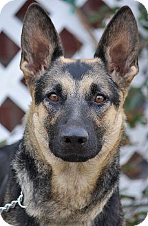 German Shepherd Dog Mix Dog for Sale in Los Angeles, California - Constance von Calw
