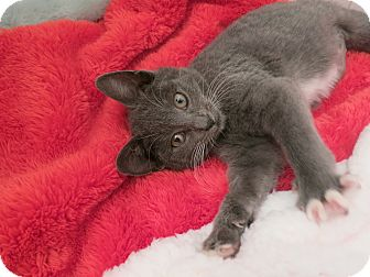 Domestic Shorthair Kitten for Sale in New York, New York - Leslie