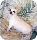 Chihuahua Dog for adption in Clear Lake, Washington - Shorty