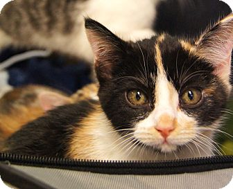 Calico Kitten for Sale in Colorado Springs, Colorado - Judy