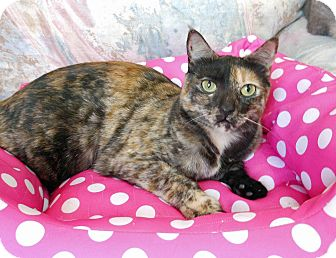 Domestic Shorthair Cat for adoption in Youngtown, Arizona - Dancer