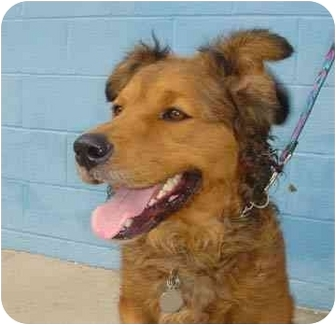Chesapeake Bay Retriever/Retriever (Unknown Type) Mix Dog for adoption ...