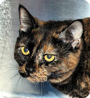 Domestic Shorthair Cat for adoption in Morganton, North Carolina - Ashley