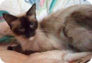 Ragdoll Cat for Sale in Ennis, Texas - Hanna