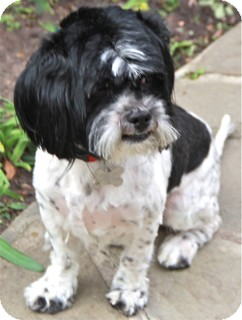 Shih Tzu/Lhasa Apso Mix Dog for Sale in Norwalk, Connecticut - Hobson - adoption pending