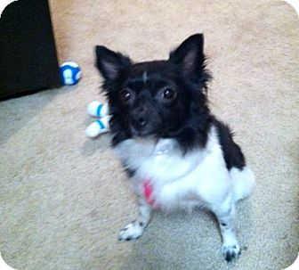 Pomeranian/Chihuahua Mix Dog for Sale in Phoenix, Arizona - Sweet Pea