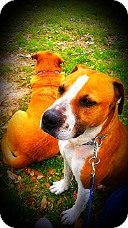 Pit Bull Terrier/Boxer Mix Dog for adption in Spring Branch, Texas - Uno