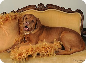 Dogue de Bordeaux Dog for adption in Las Vegas, Nevada - Peaches