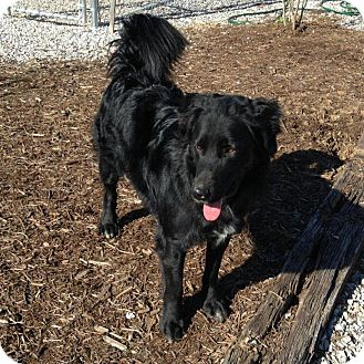 Flat-Coated Retriever Mix Dog for adption in Russellville, Kentucky - Curly