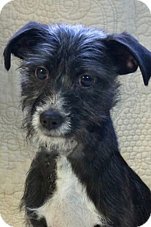 Terrier (Unknown Type, Small) Mix Dog for Sale in Gilbert, Arizona - Zuni