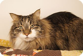 Maine Coon Cat for Sale in Colorado Springs, Colorado - Maverick