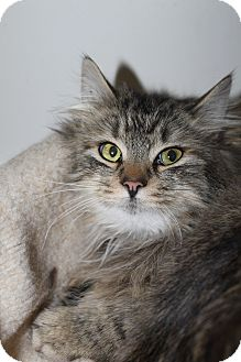 Maine Coon Cat for Sale in North Branford, Connecticut - Marcus