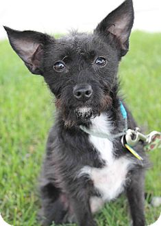 Terrier (Unknown Type, Small)/Chihuahua Mix Puppy for adption in Westminster, Colorado - Aliva