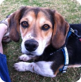 Beagle Mix Dog for Sale in Phoenix, Arizona - Maverick