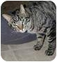 Adopt A Pet :: Sir Diddimus - Middletown, CT