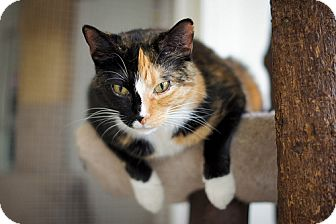 Domestic Shorthair Cat for adoption in Chicago, Illinois - Robin Lane