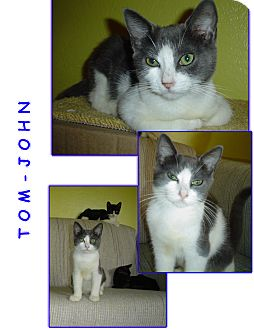 Domestic Shorthair Kitten for Sale in Bunnell, Florida - Tom-John