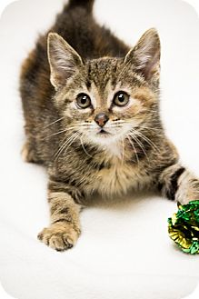 Domestic Shorthair Kitten for Sale in Chicago, Illinois - Bop