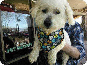 Bichon Frise/Poodle (Miniature) Mix Dog for Sale in Scottsdale, Arizona - Cloud
