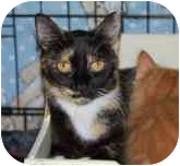 Calico Cat for adoption in Pittsboro, North Carolina - Callie