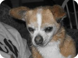 Chihuahua Mix Dog for adption in Eaton, Colorado - Joey